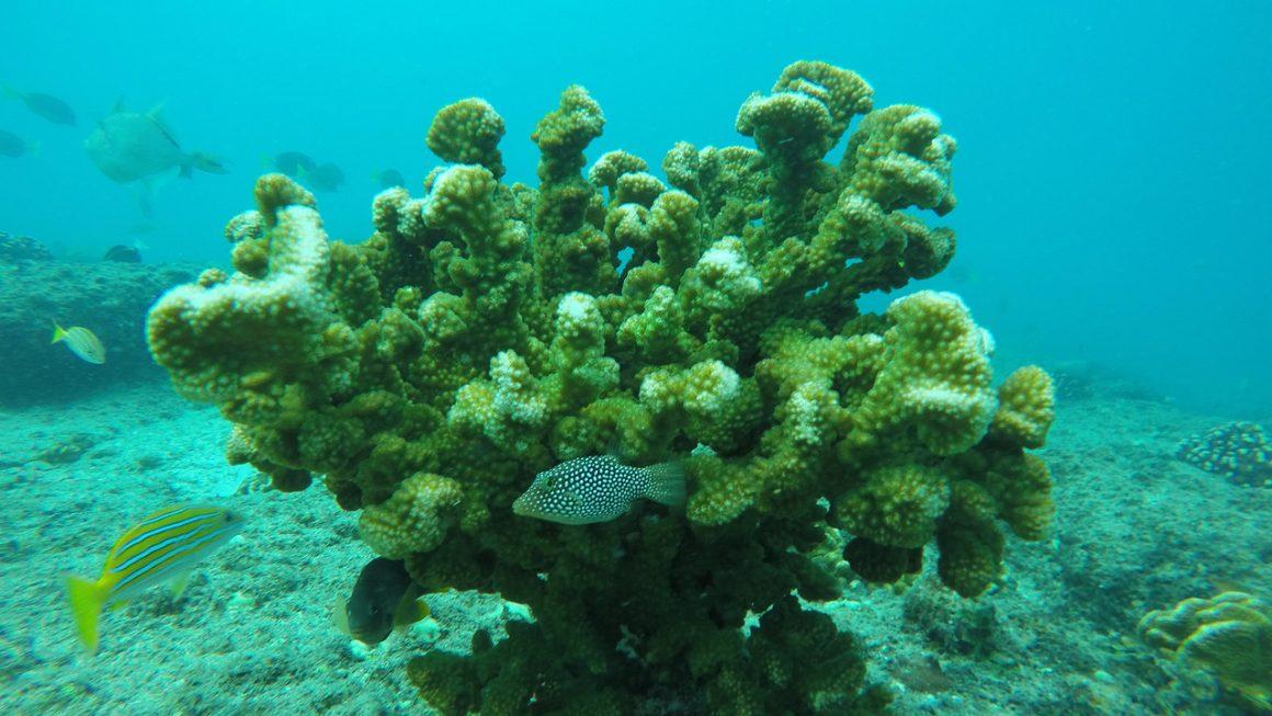 Adopta un Coral